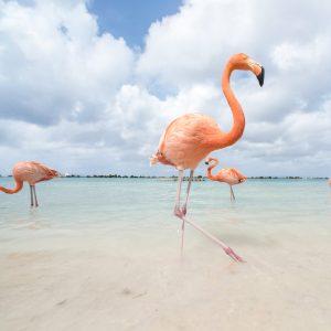 Flamingos in Flamingos Beach a private island in Aruba