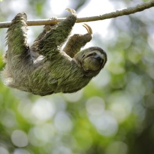 Three-toed Sloth (Bradypus variegatus) moving on cecropia tree, one of the more than 200 species of trees that sloths use to live and to feed on, Costa Rica